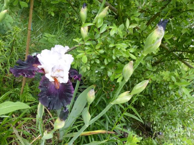 Floraison d'iris 2017 - 2018 - 2019 /2020 - Page 18 P1070173