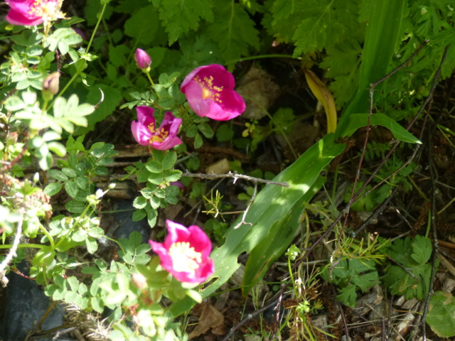 rosiers 2020 au jardin de l'abbaye  P1070185