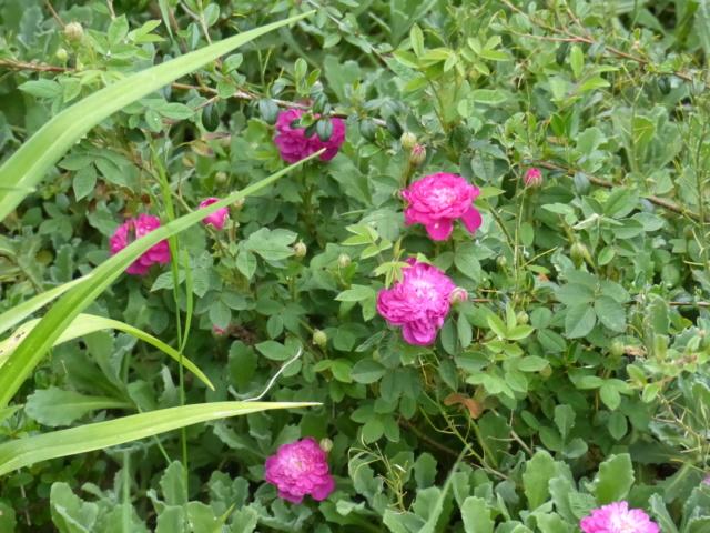 rosiers 2020 au jardin de l'abbaye  P1070186