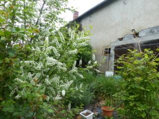 arbuste inconnu :  prunus padus - Page 2 P1070190