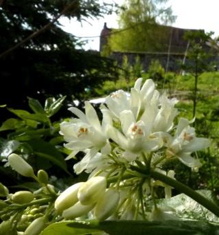 .un bel arbre mais pas de nom Staphylea, S. Trifolia - Page 2 P1070335