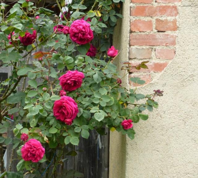 rosiers 2020 au jardin de l'abbaye  P1070868