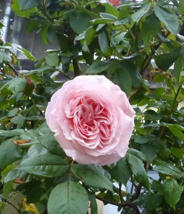 rosiers 2020 au jardin de l'abbaye  P1070869