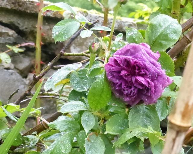 rosiers 2020 au jardin de l'abbaye  P1070870
