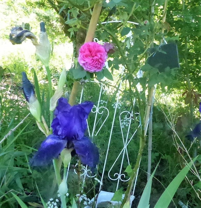 rosiers 2020 au jardin de l'abbaye  P1070871