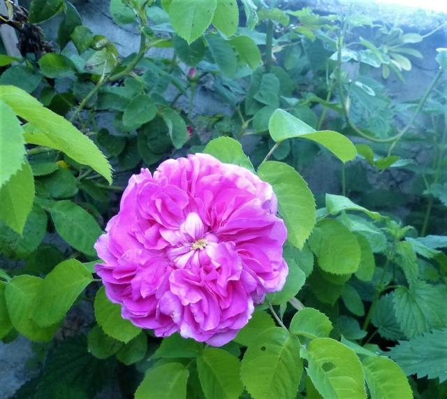 rosiers 2020 au jardin de l'abbaye  P1070956