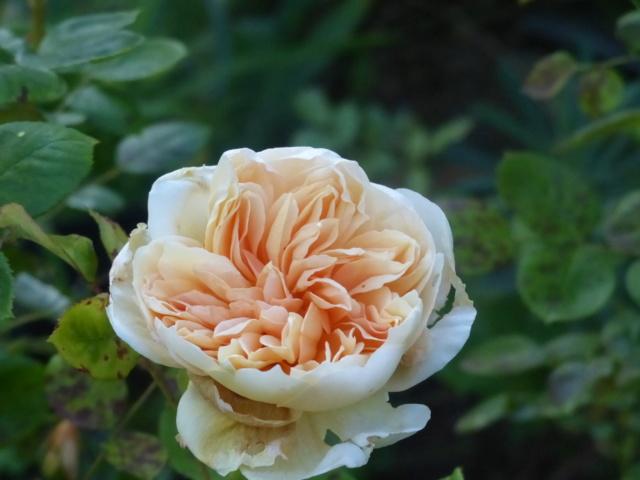 rosiers 2020 au jardin de l'abbaye  P1070957