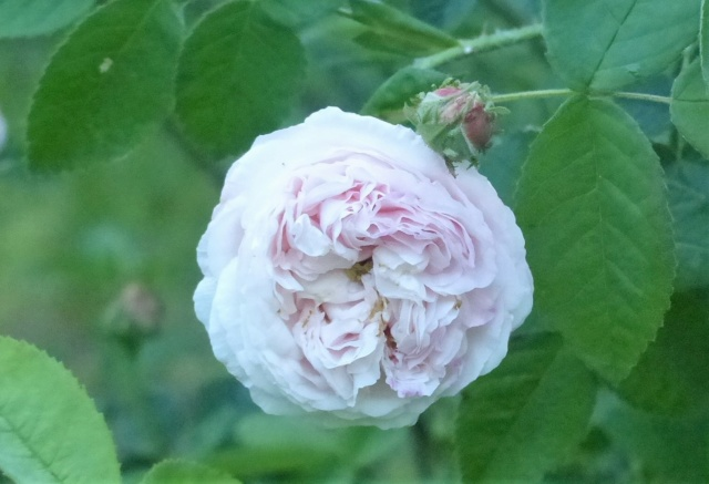 rosiers 2020 au jardin de l'abbaye  P1070959