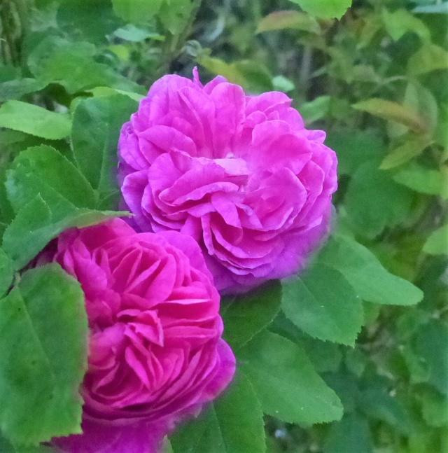 rosiers 2020 au jardin de l'abbaye  P1070960