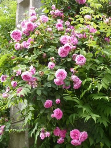 rosiers 2020 au jardin de l'abbaye  P1080111