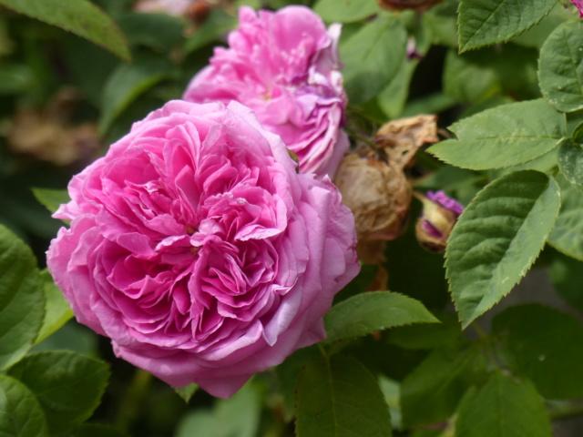 rosiers 2020 au jardin de l'abbaye  P1080112