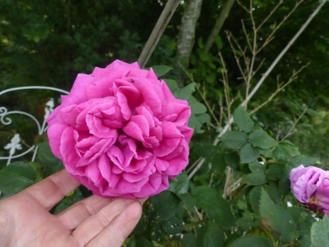 rosiers 2020 au jardin de l'abbaye  P1080113