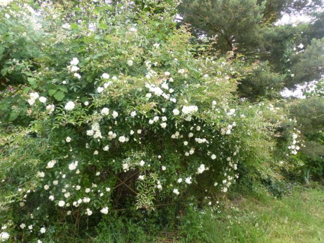 rosiers 2020 au jardin de l'abbaye  P1080114