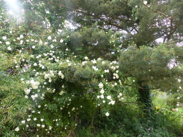 rosiers 2020 au jardin de l'abbaye  P1080115