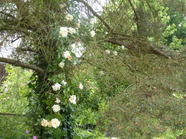 rosiers 2020 au jardin de l'abbaye  P1080116