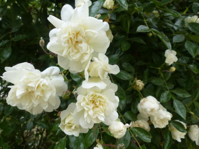 rosiers 2020 au jardin de l'abbaye  P1080117