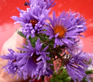 Aster d'automne  - Page 23 P1100010