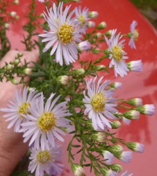 Aster d'automne  - Page 23 P1100011