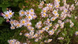 Aster d'automne  - Page 23 P1100012