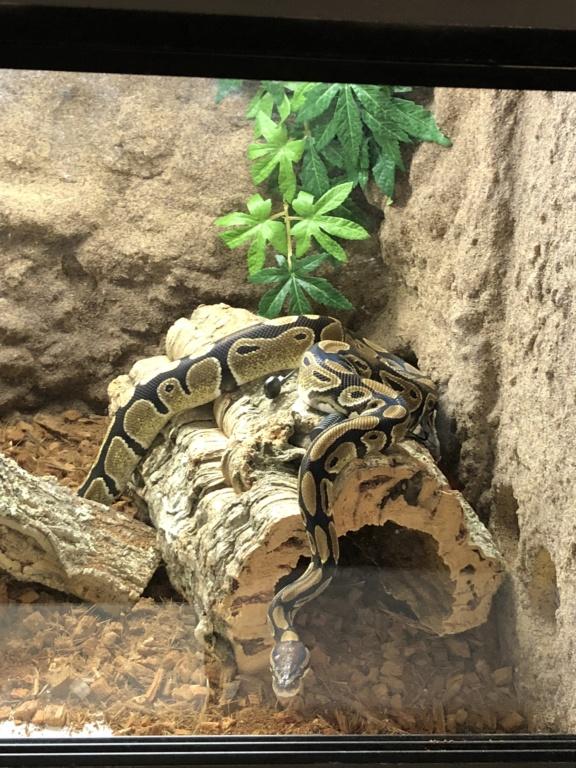 Comportement python regius 4cb26910