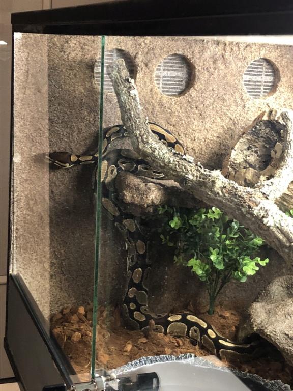 Comportement python regius A9c7c310