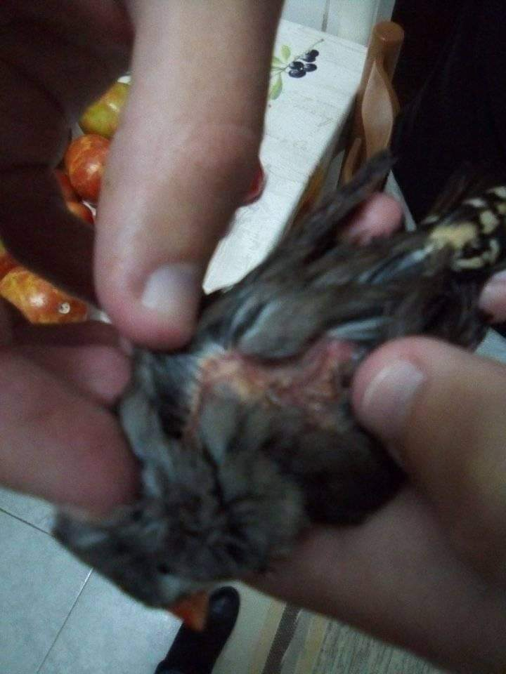 Fêmea mandarim doente Receiv14