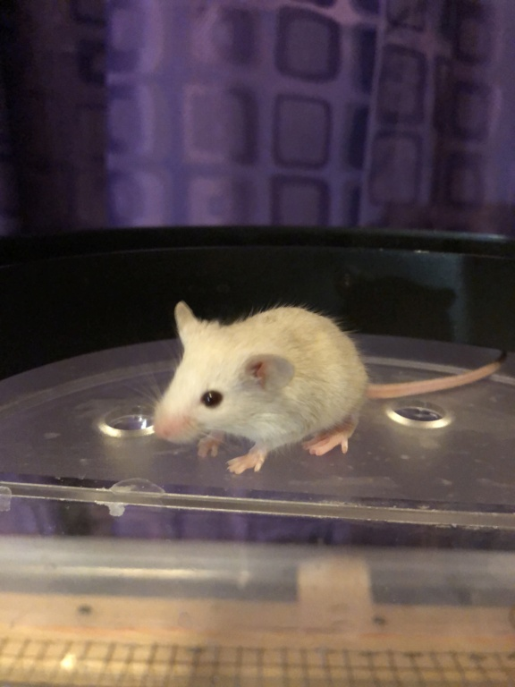 Baby Mice Available in OK Dbb65d10