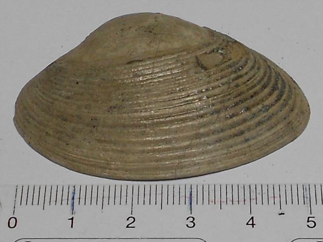 Bivalve du pliocene 66 Rscn1121