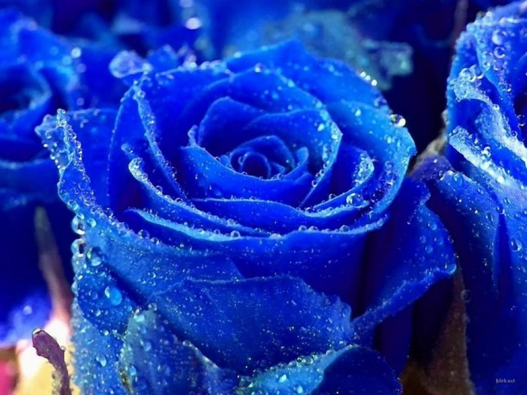::Desfile de Rosas AMDA::Hoy se presenta la Rosa Azul AMDA  Rosa_a10