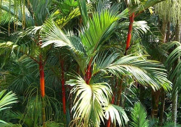 Арековая пальма 1f365c10