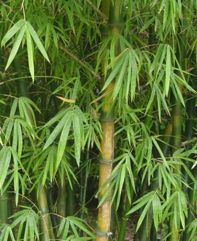 Бамбук 5e9a5e10