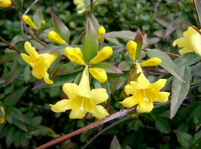 Гельсемиум живородящий, или желтый жасмин 9e13b910
