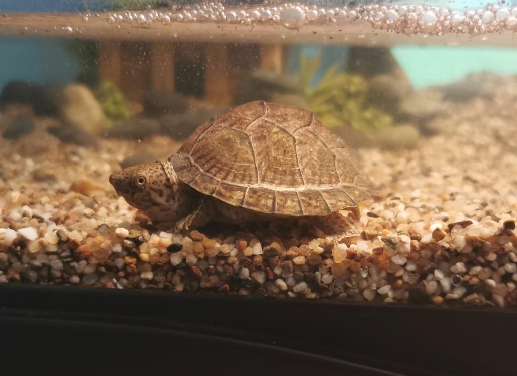 Aquarium de Cinosterne Caréné Img_2011