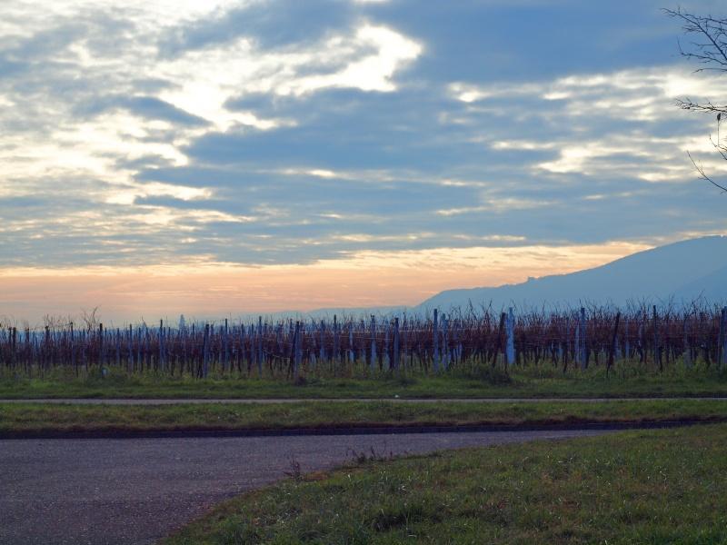 dans les vignes Pc311012