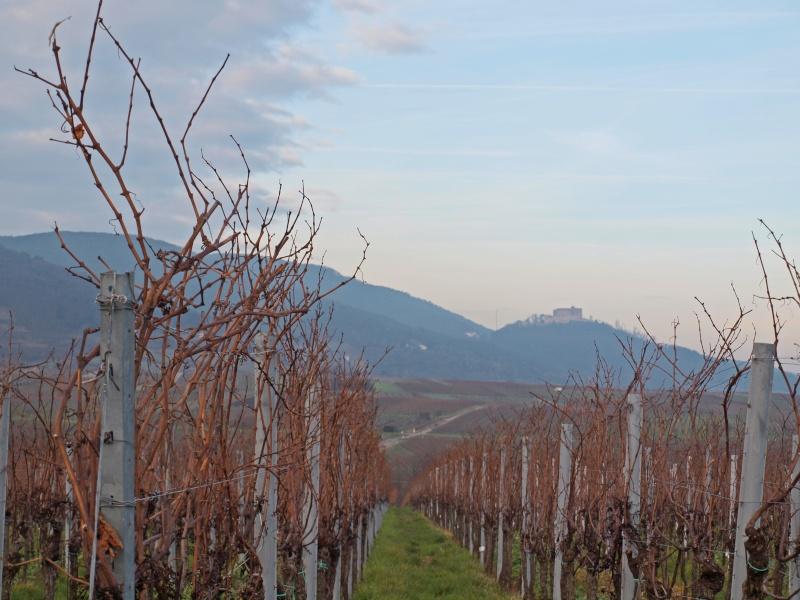 dans les vignes Pc311115