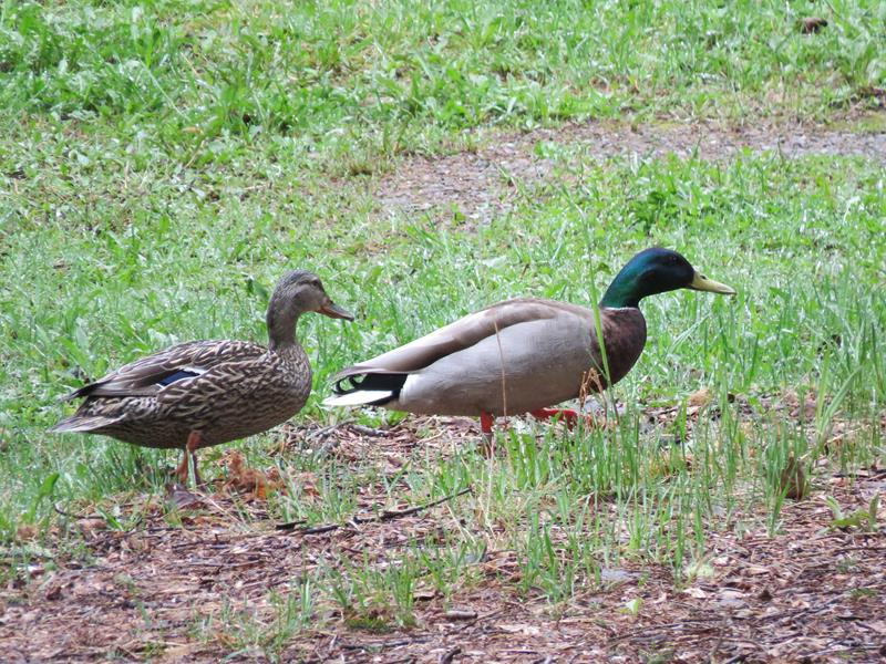 Mes canards sont de retour Img_2013