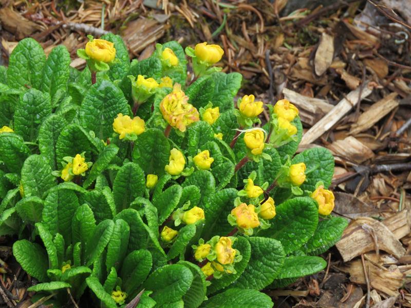 Primula Belarina Buttercups Img_2126