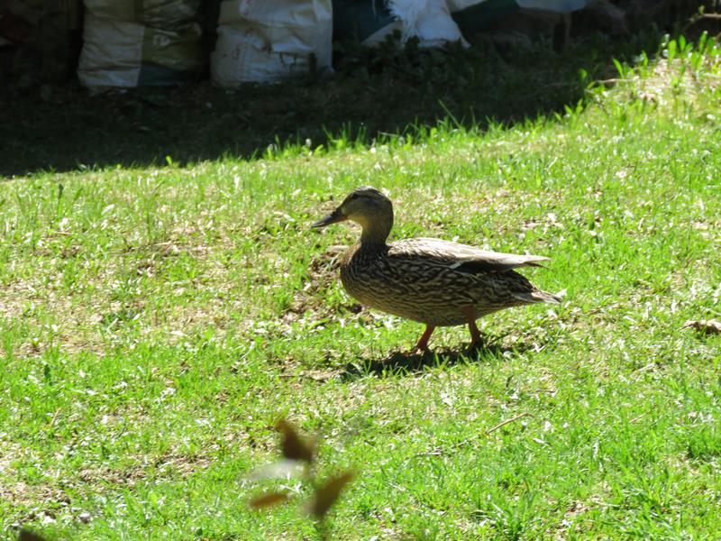 Mes canards sont de retour Img_2310
