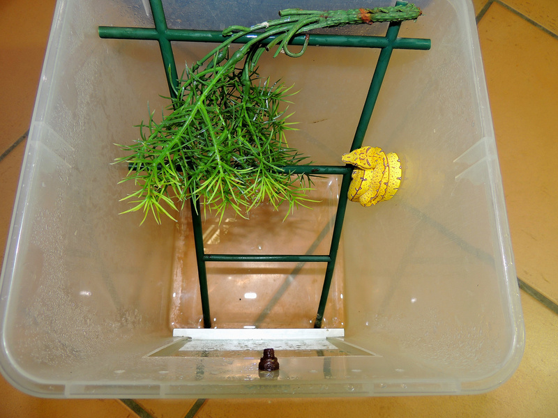 Morelia viridis exemple bacs pour juv Dscn2525