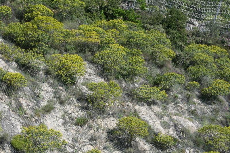 Euphorbia dendroides - euphorbe arborescente Euphor11