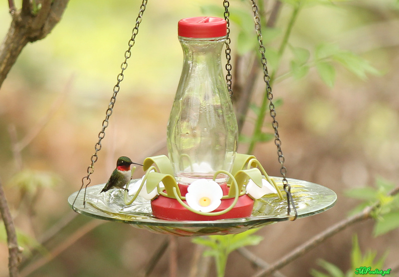 Fascinant ces petits colibris Img_0011
