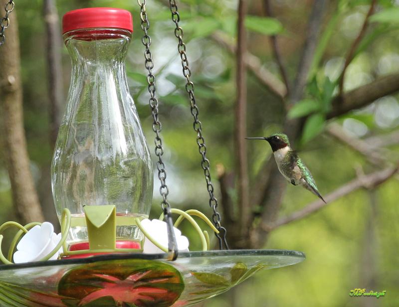 Fascinant ces petits colibris Img_0110