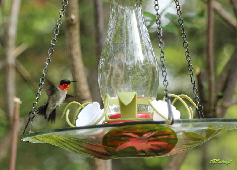 Fascinant ces petits colibris Img_0111