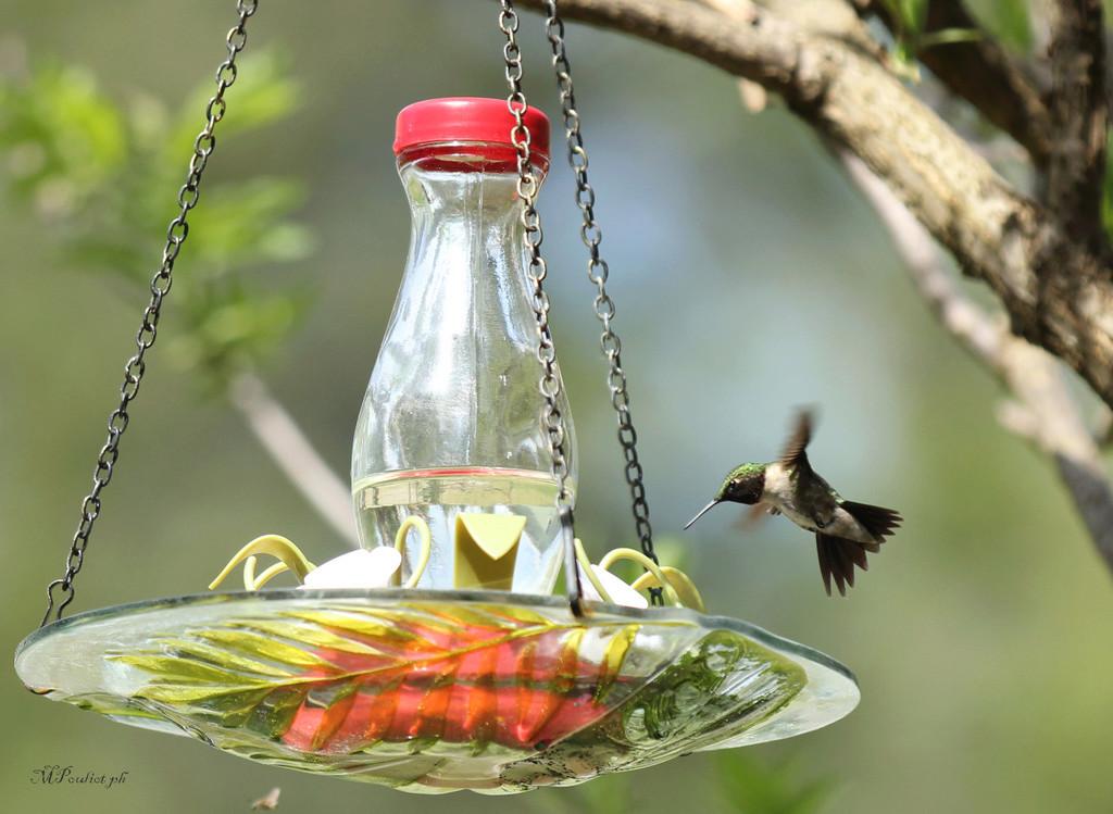 Quel bonheur, un Colibri à gorge rubis Img_9910