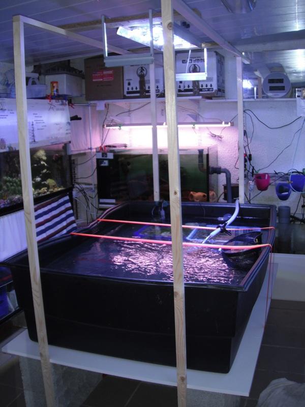 Thalassianthus aster (chantier vidage du 1500 & 500 litres!) Dscf2210