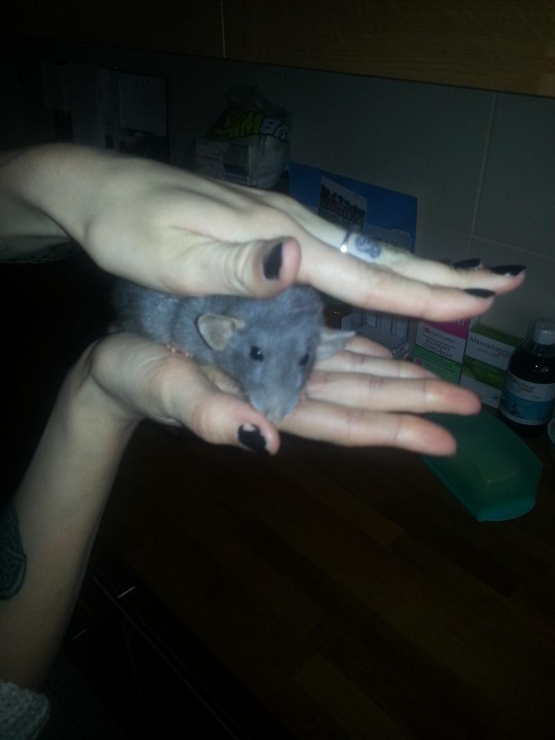Rat nain ? 20140412
