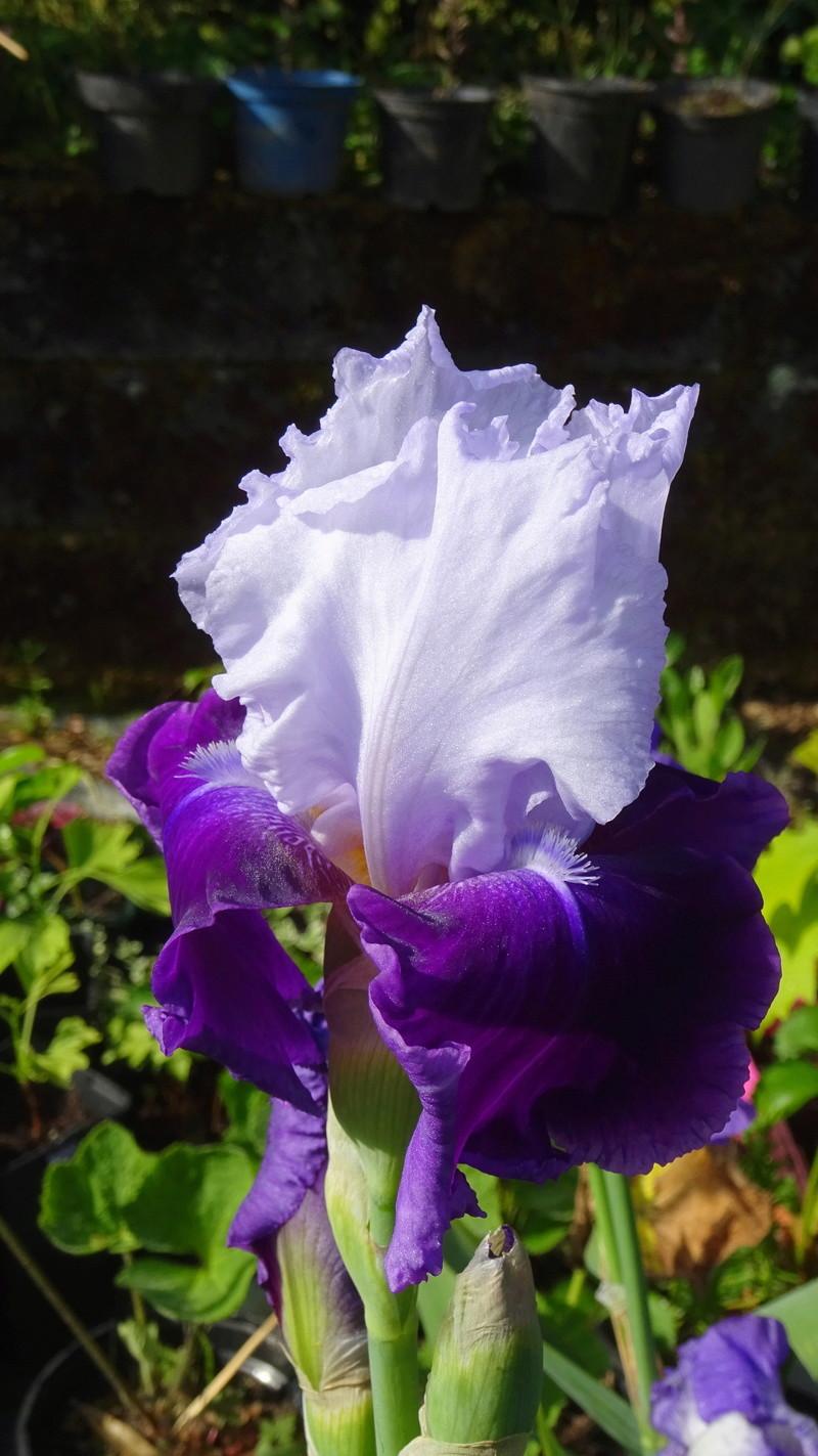3 nouveaux iris à identifier : Dsc09016