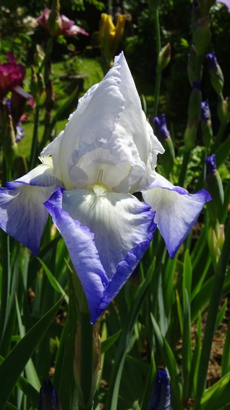 3 nouveaux iris à identifier : Dsc09111