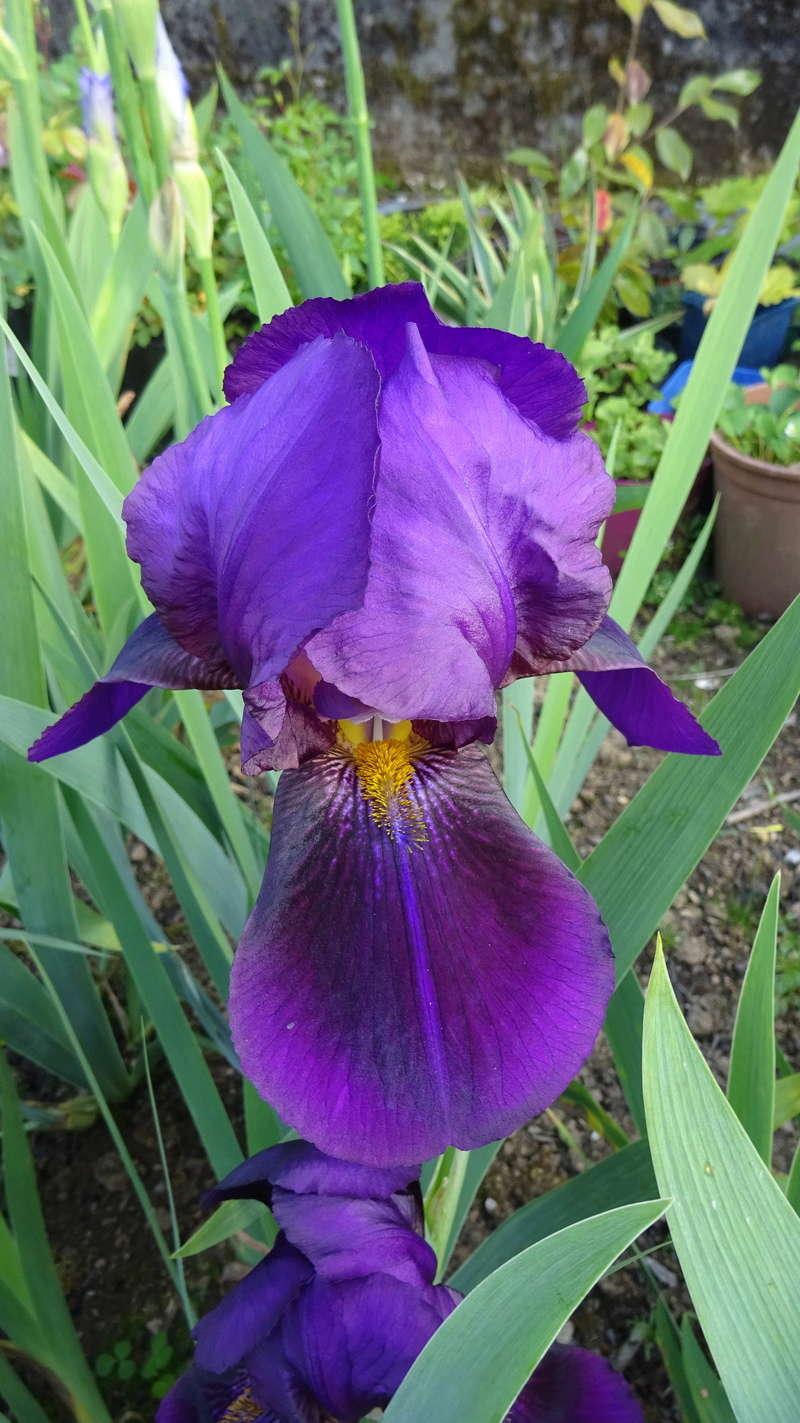 3 nouveaux iris à identifier : Dsc09113