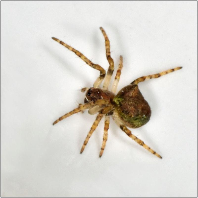 Araneidae : Gibbaranea gibbosa Gibbar10